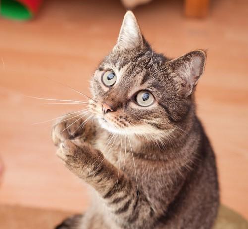 手を合わせてお願いする猫