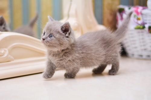 ブルーのマンチカンの子猫