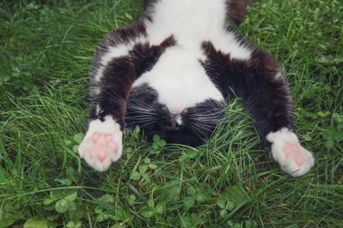 草の上で万歳の格好で寝ている猫