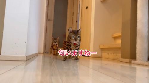 歩いてくるベンガル猫たち