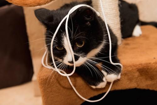 ヒモで遊んでいる猫
