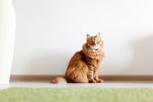 白い壁の前で座る猫