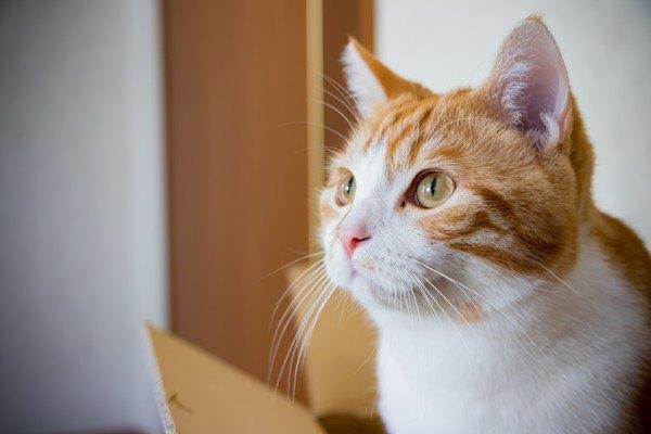 見つめる白と茶色の猫