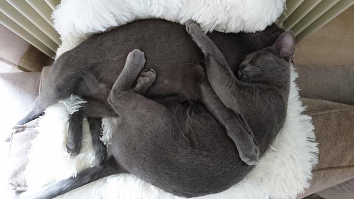 二匹で眠るコラット