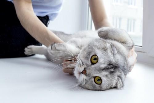 お腹をマッサージされる猫
