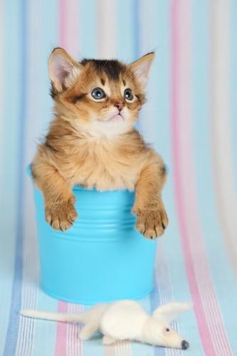 小さな青いバケツから上半身を出したソマリの子猫とねずみのおもちゃ