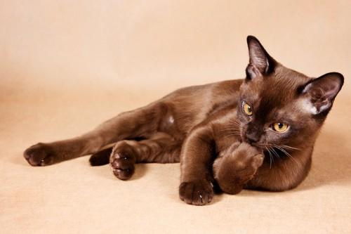 横になって手を舐めている猫