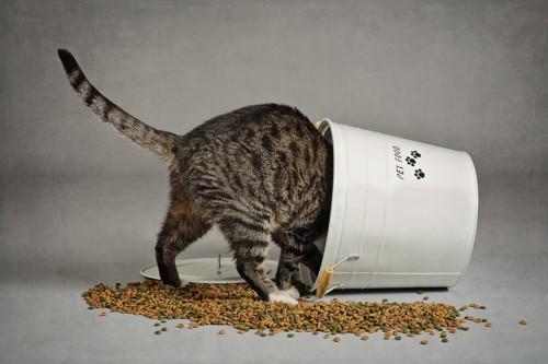 バケツを倒してフードを食べる猫
