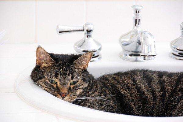 洗面器でくつろぐ猫