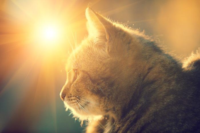 夕日を浴びる猫