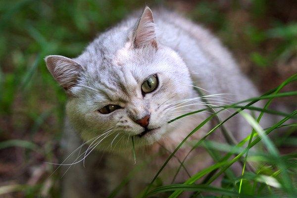 葉っぱを食べる猫