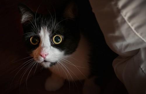 隠れている白黒の猫
