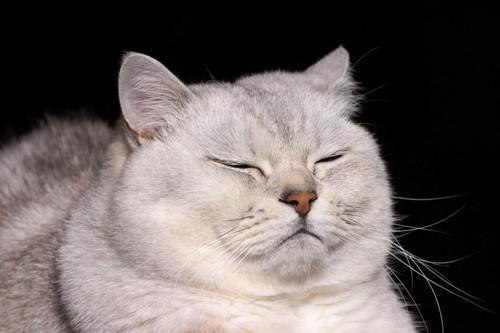 目をつぶる白いデブ猫