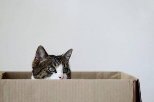 ダンボール箱から顔をのぞかせる猫