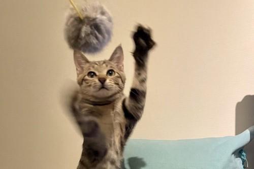 遊んでもらう子猫