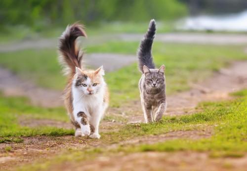 歩く長毛の三毛とサバトラ