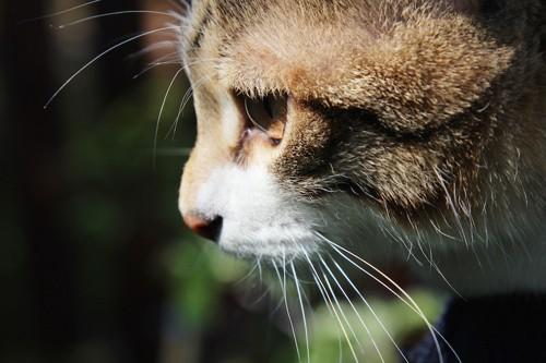 まっすぐ見つめる猫の横顔