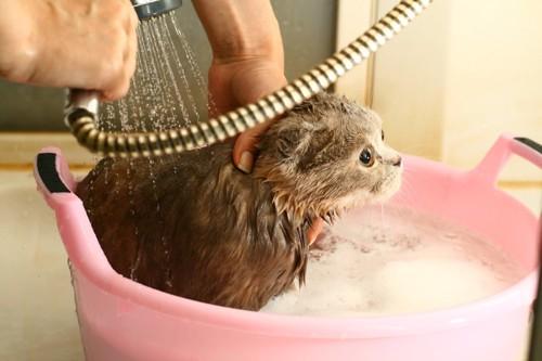 ピンクのお風呂で洗われている猫