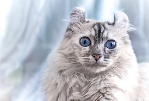 青い瞳のアメリカンカール