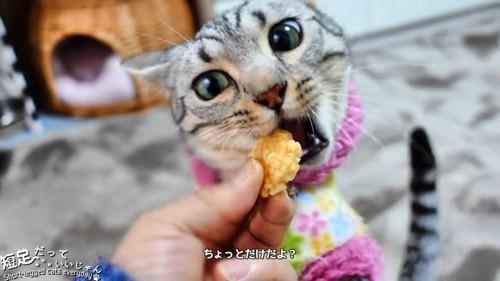 おせんべいを食べる猫