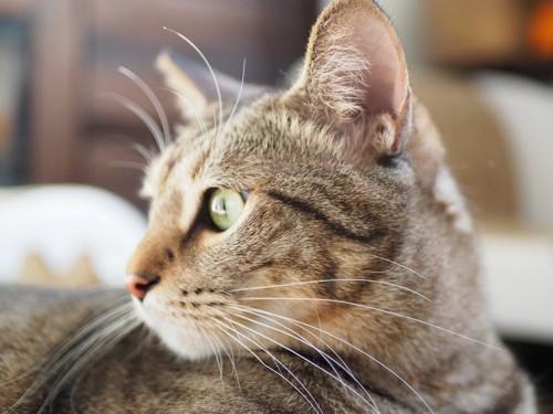 振り返る猫の横顔アップ
