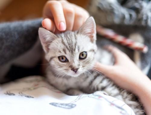 撫でられてこちらを見つめている子猫