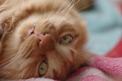 ゴローンとにらむ猫
