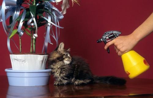 子猫にスプレーを向ける人の手