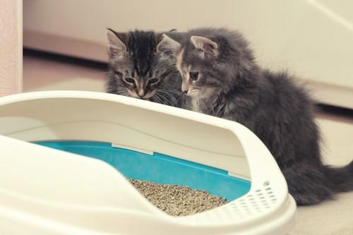 トイレを見つめる子猫2匹