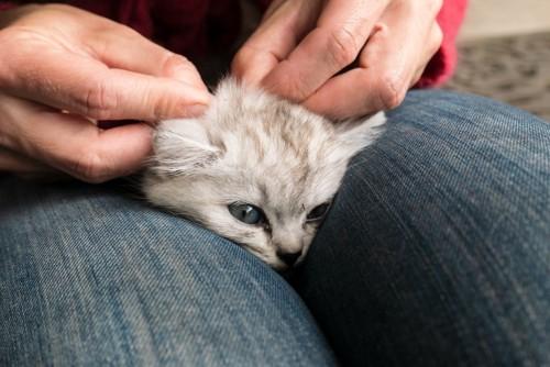 足ではさまれノミ取りをされる猫