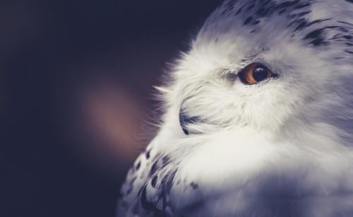 横を向くフクロウ