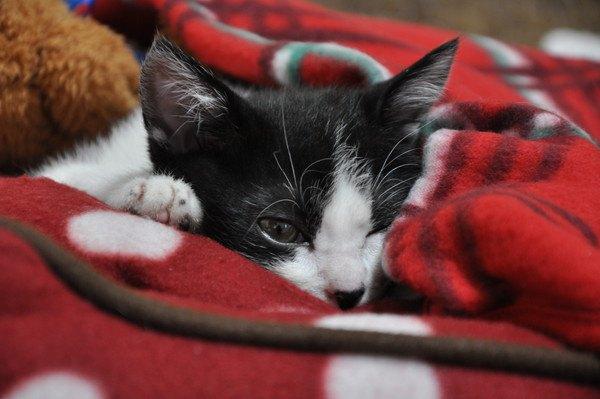 赤い布団で寝る猫