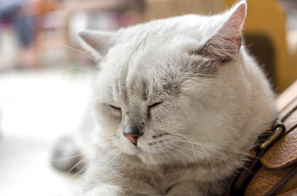 眼を閉じてじっとする白猫