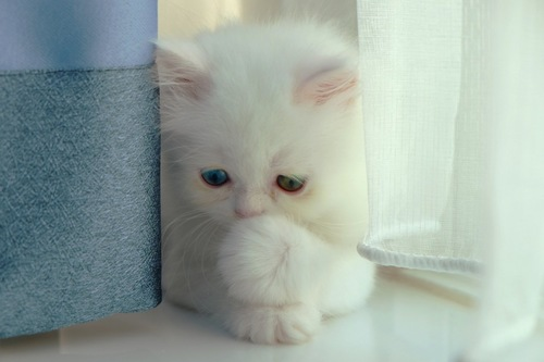 鼻を抑える子猫