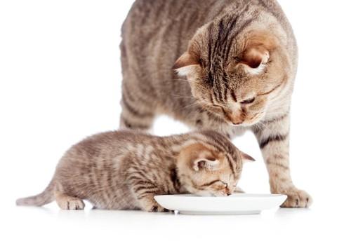 餌を食べる子猫と見守る親猫