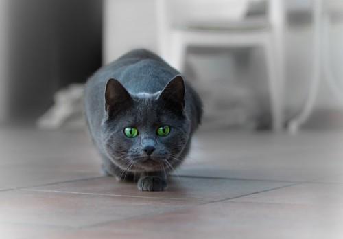 姿勢を低くして見つめる猫