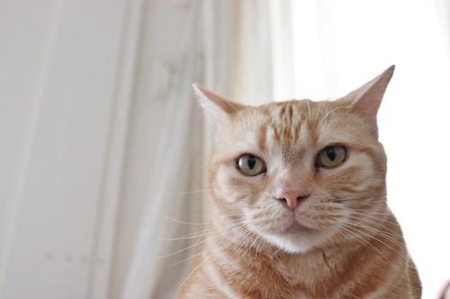 イカ耳の猫の顏の正面