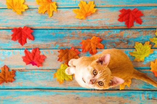秋の紅葉と上を見上げる子猫