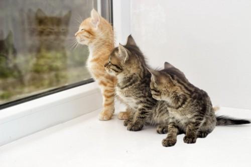 窓の外を見る三匹の子猫