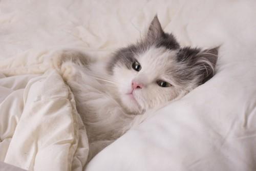 ふかふかのベッドで布団をかけて眠る猫