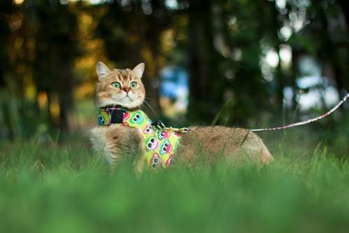 カラフルなハーネスを付けた猫