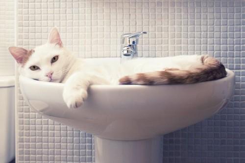 洗面台の中に入ってくつろぐ猫