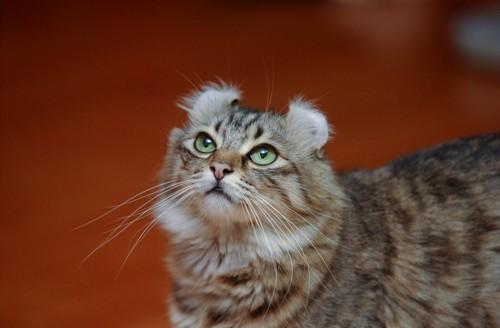 何かを聞き取ろうとしている猫