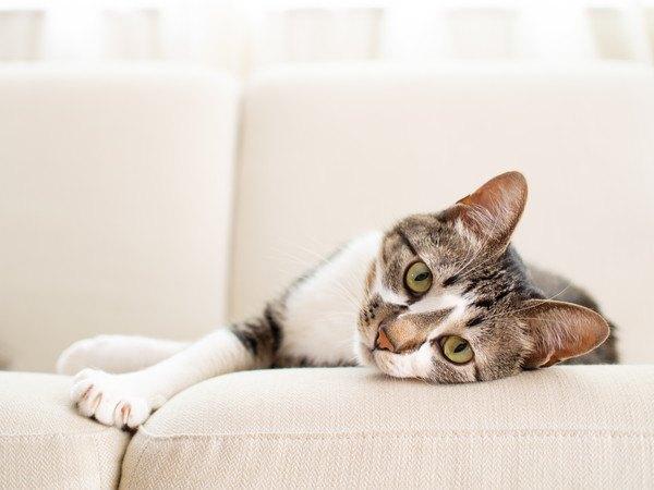 白いソファでくつろぐ猫