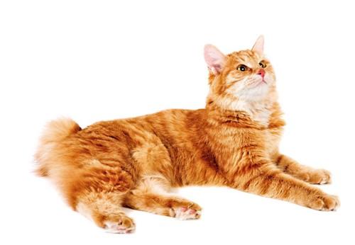 横になって上を見るしっぽの短い猫