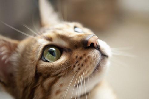 見上げるベンガル猫の顏のアップ