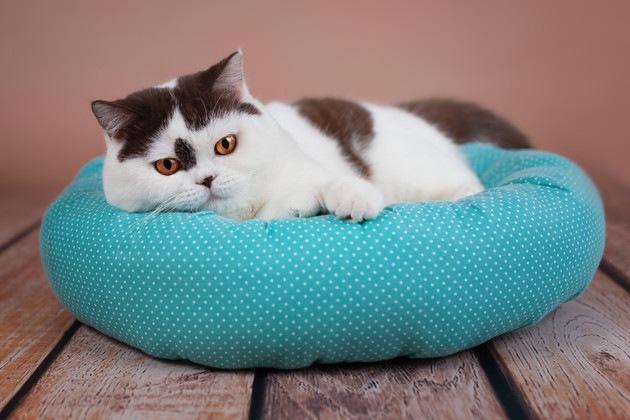 水玉のクッションでくつろぐ猫