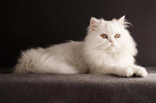 凛々しい表情でくつろぐペルシャ猫