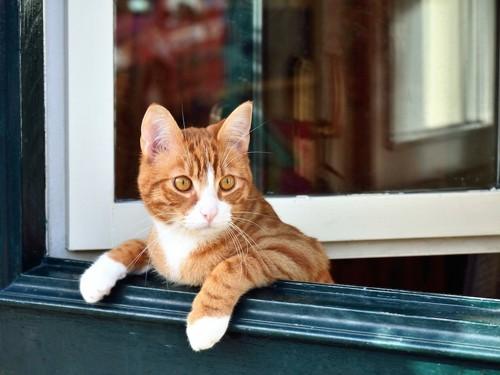 開いている窓から身を乗り出す猫