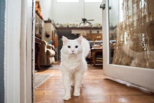 出入口に立つ白い猫